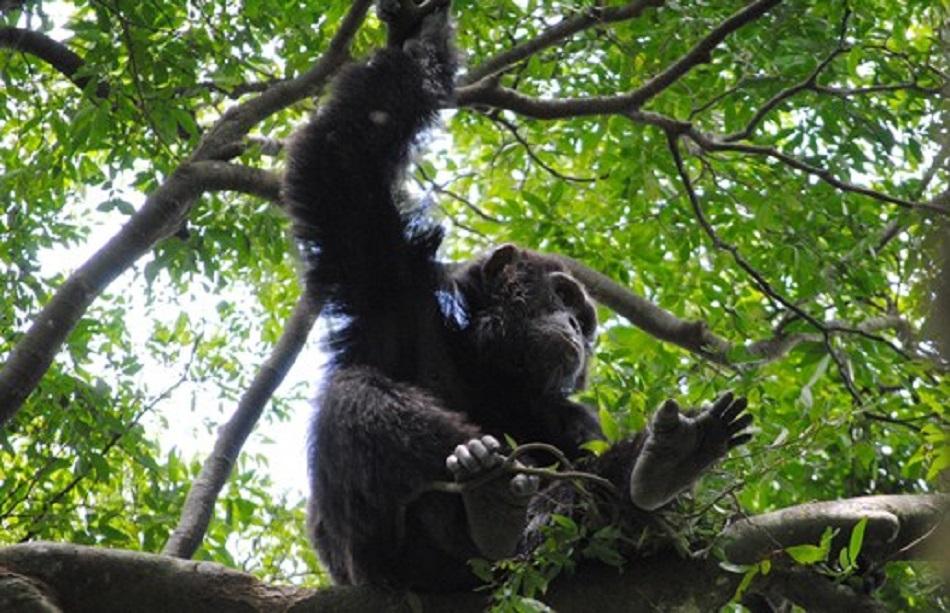 北愛爾蘭動物園黑猩猩用樹枝造梯翻牆。網上圖片