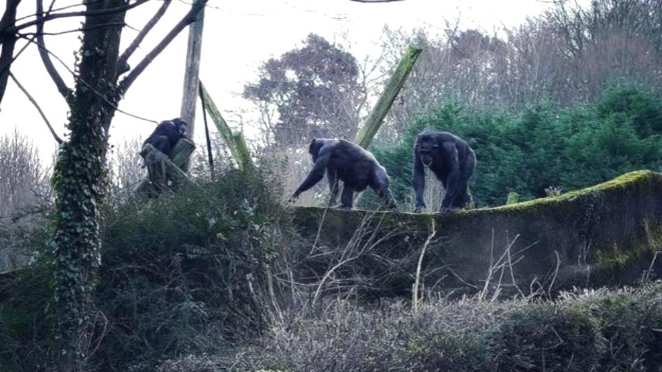 動物園黑猩猩用樹枝造梯翻牆逃跑。網上圖片