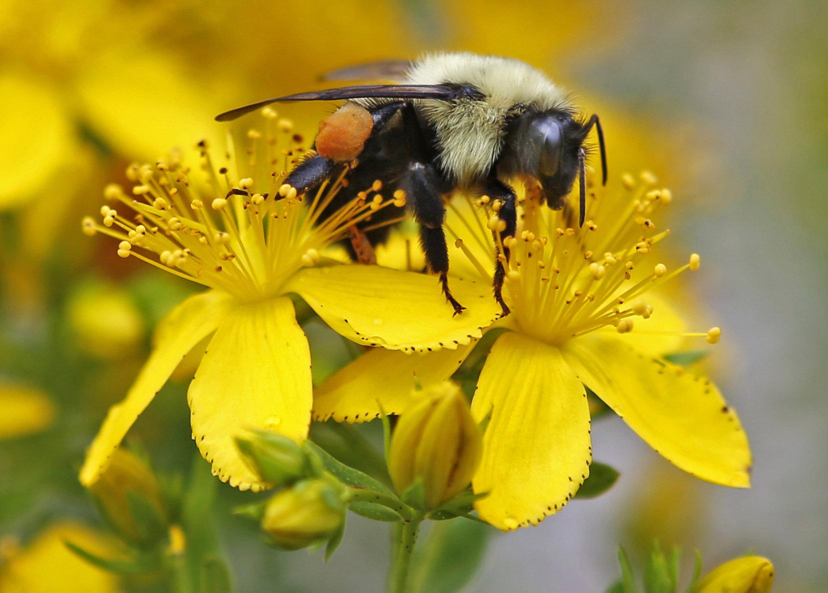 全球有8成野生植物倚賴昆蟲傳播花粉。AP圖片