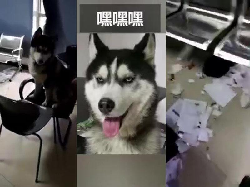 哈士奇雪橇犬拆了派出所,民警氣得想報警。(網圖)
