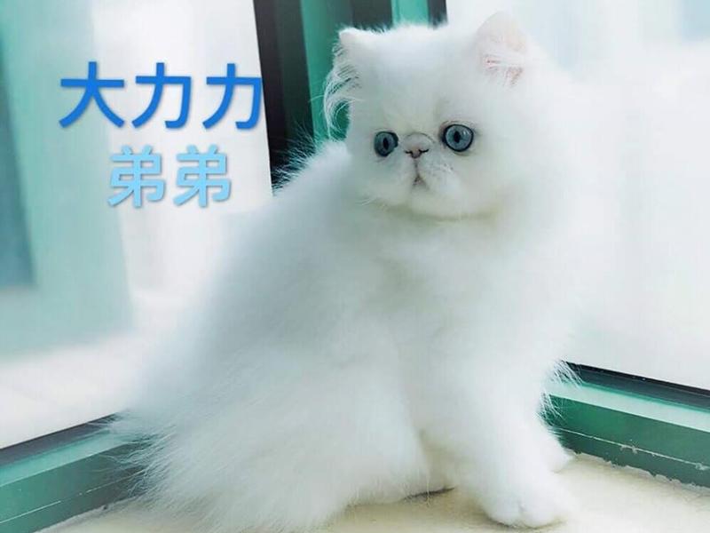 逾2.5萬港元波斯貓。Kay Chu圖