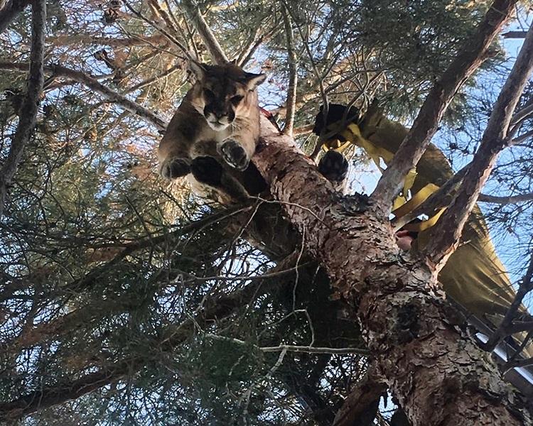 美州树卡在树枝,不上不落。