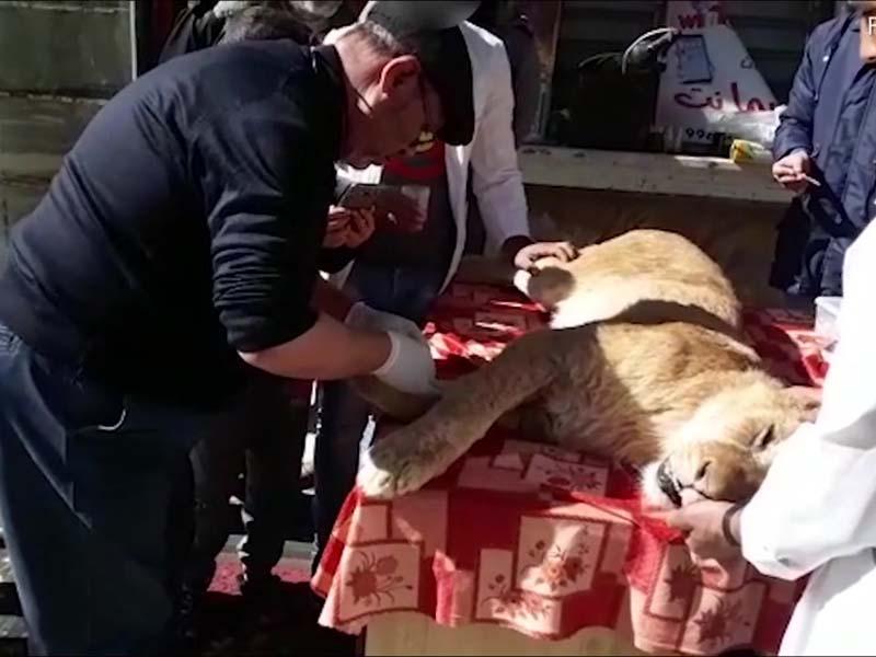 残忍!动物园竟把狮子爪全部砍断。(网图)