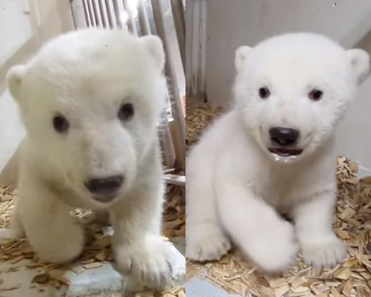 北极熊宝宝好可爱。「Tierpark Berlin」片段截图
