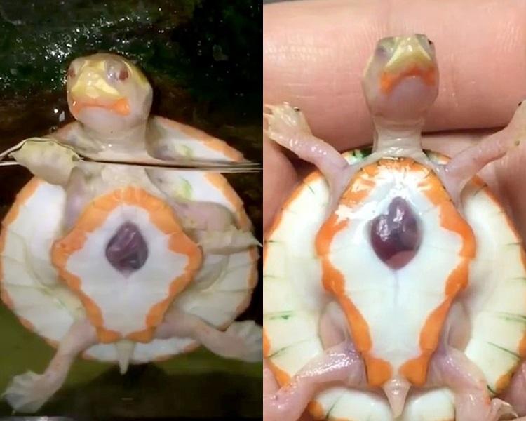 「Hope」(希望)是白化龟,心脏位于腹部中间,完全外露。网图