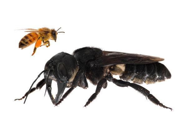 这种蜜蜂翅膀伸展开来,大约有六厘米。
