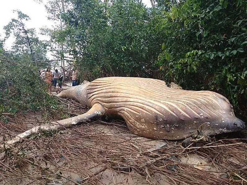 生物学家对座头鲸尸体出现的位置感惊讶。(网图)