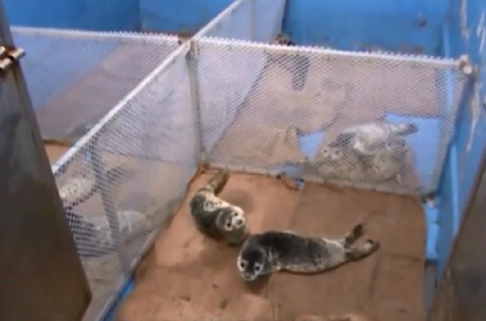 斑海豹被转送治理。网上图片