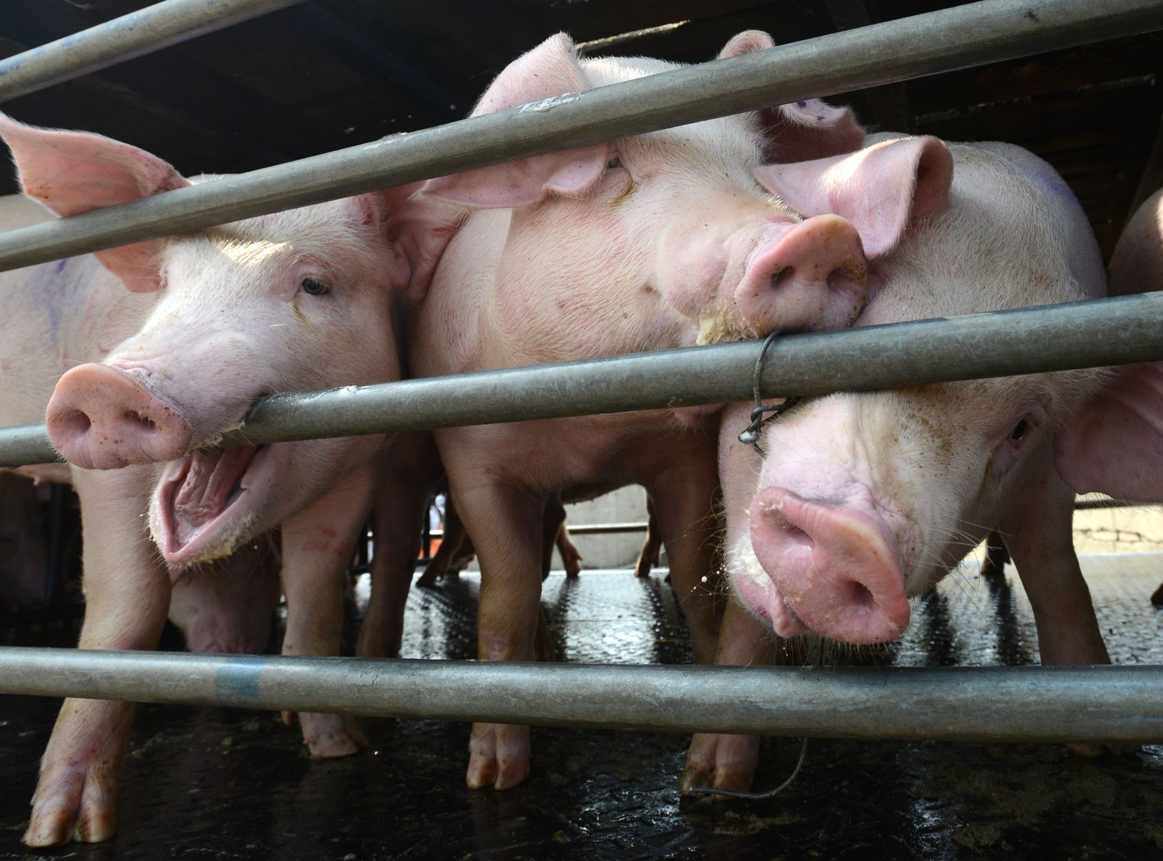 陕西榆林靖边县爆发非洲猪瘟疫情。资料图片