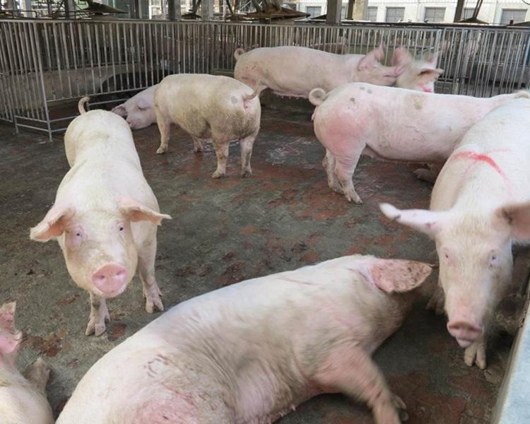 公安部就非洲猪瘟拘逾千人。网图