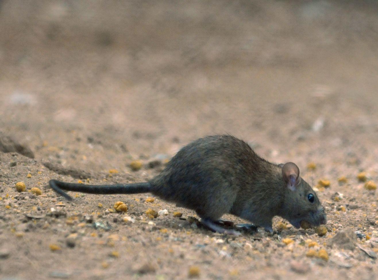 食環署指,本港公眾地方的去年整體鼠患情況大致穩定。資料圖片
