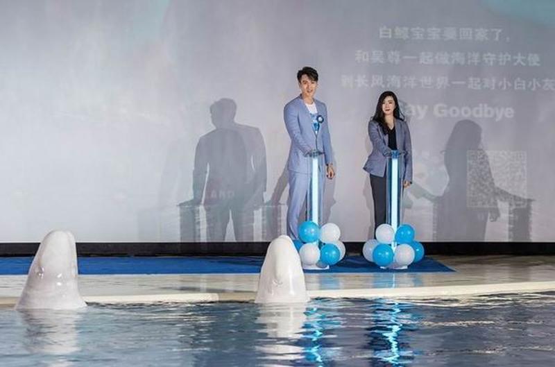 張琪和「默林中國海洋守護大使」吳尊共同啟動「小白鯨九千公里的回家之旅」。(網圖)