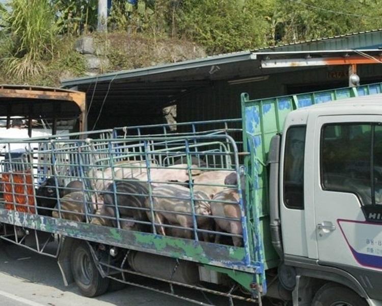 台湾运猪车将全面装上GPS系统防非洲猪瘟。网图