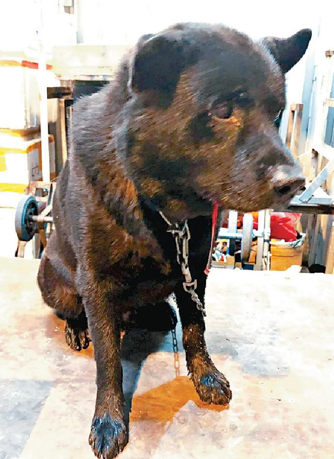 黑唐狗旺仔被打至要住院5天。网图