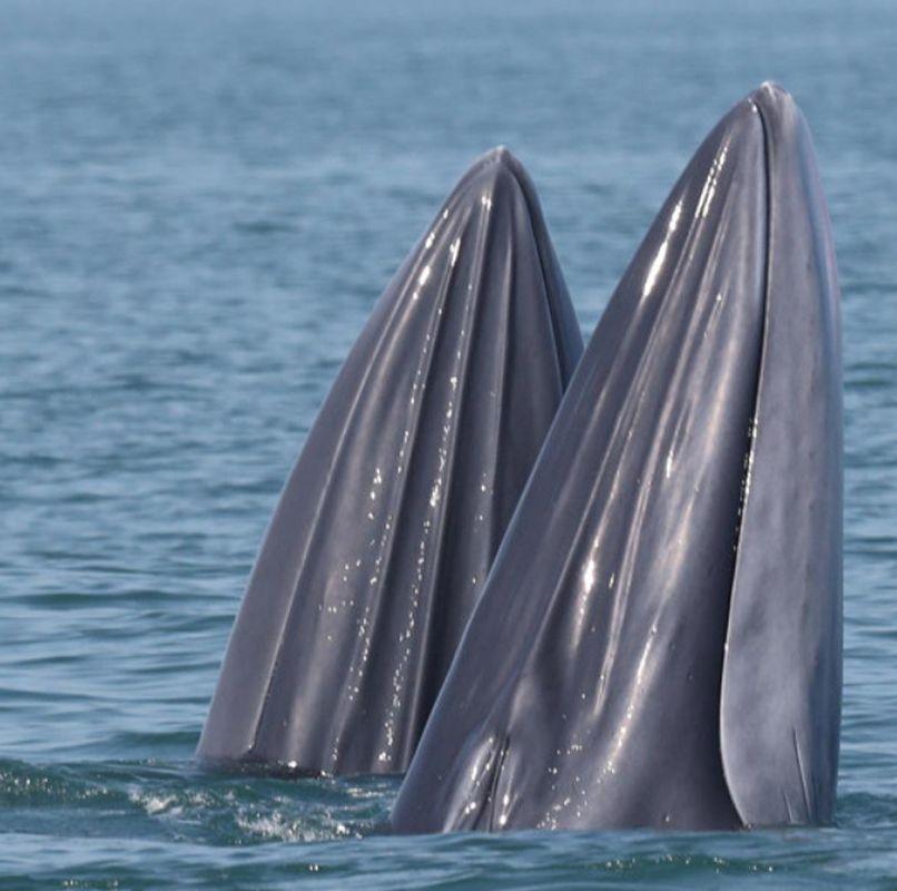 身手敏捷的鲸鱼或戏浪追逐或欢快捕食。网图