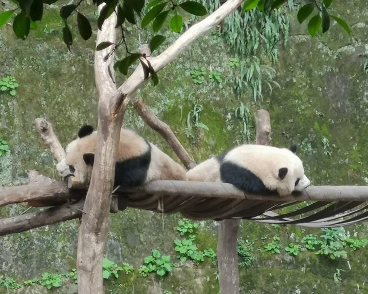 内地拟赠一对重庆动物园的熊猫予高雄。网图