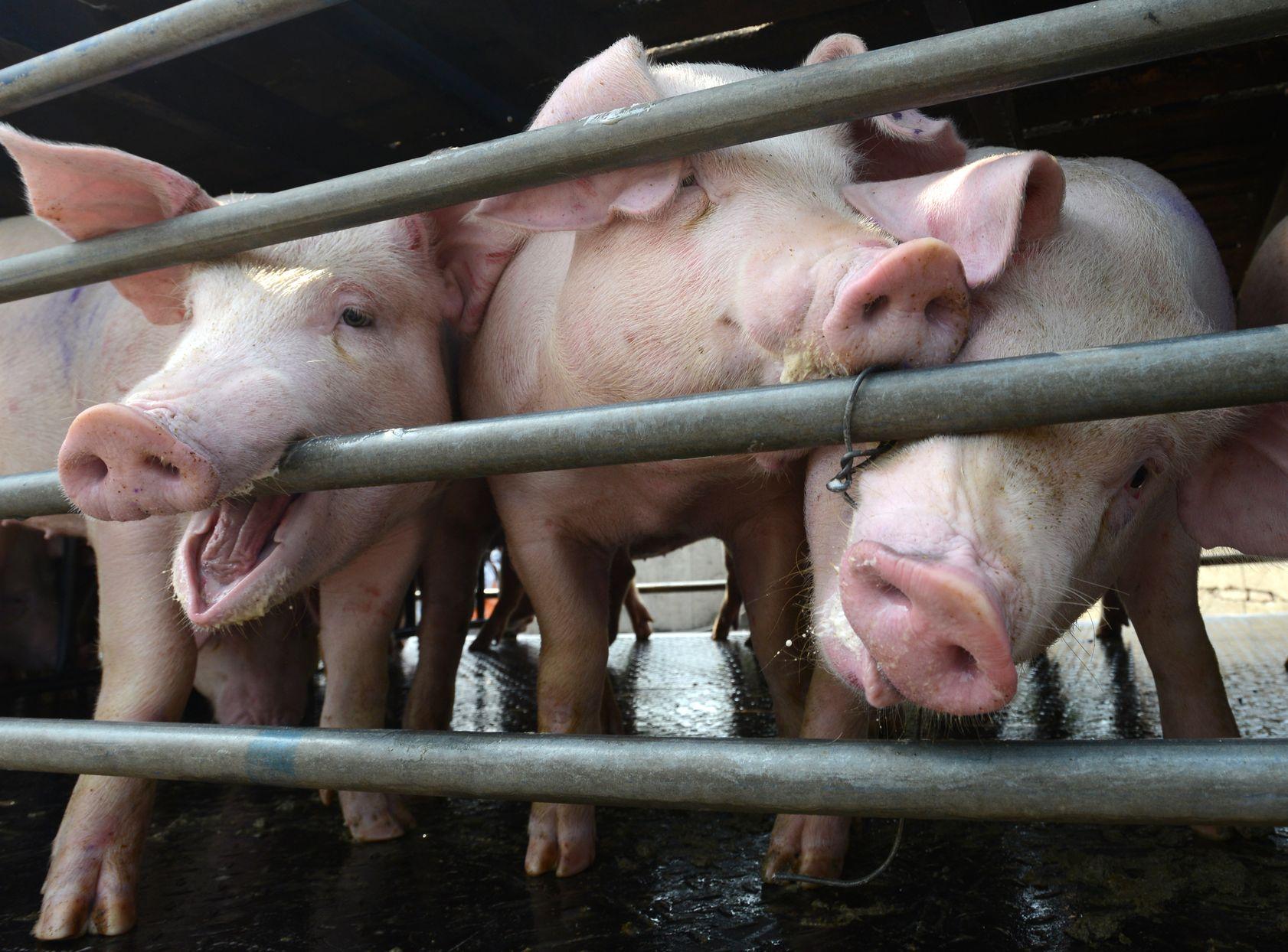 四川广安市近日截获一辆载有非洲猪瘟患病猪只的运猪车。资料图片