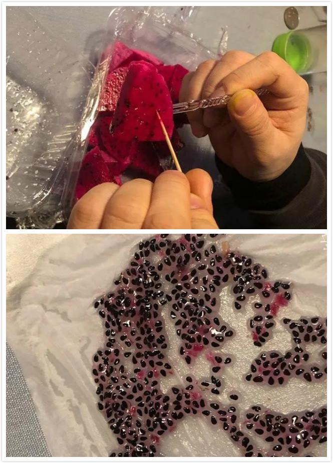 有幼儿园功课要求带火龙果种子回学校。网上图片