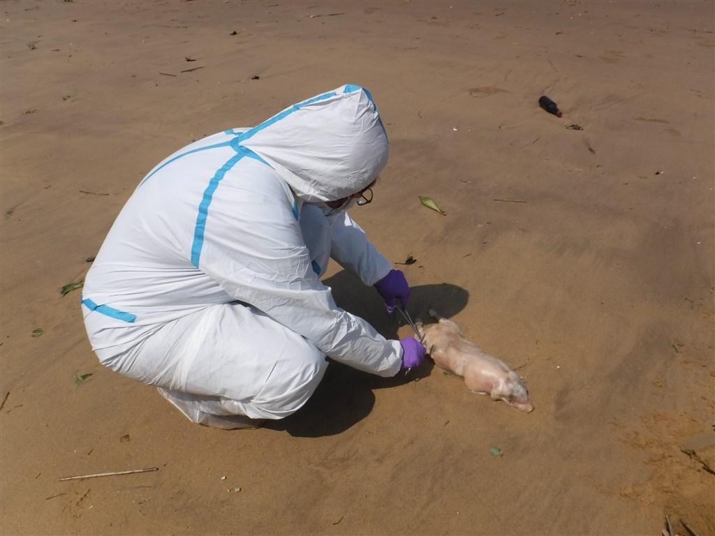 烈嶼鄉海飄死豬驗出病毒 。網上圖片