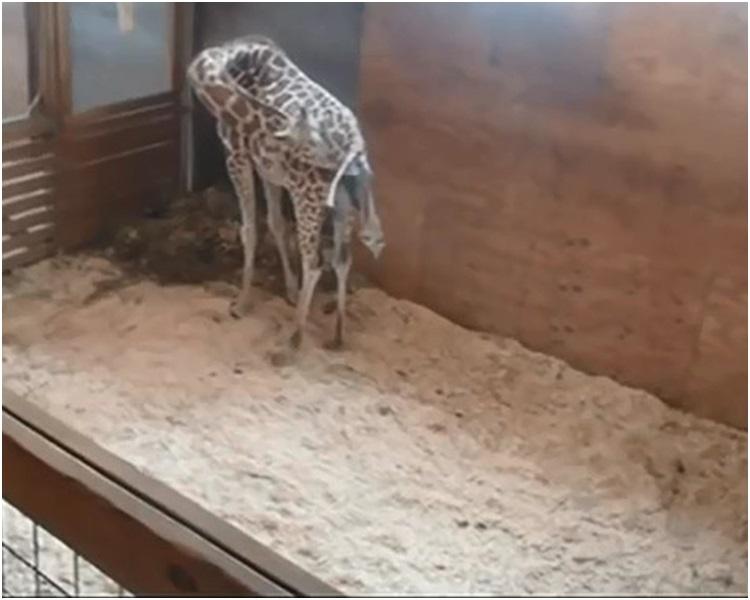 YouTube直播「4月」顺利诞下一头健康的雄性小长颈鹿。网图