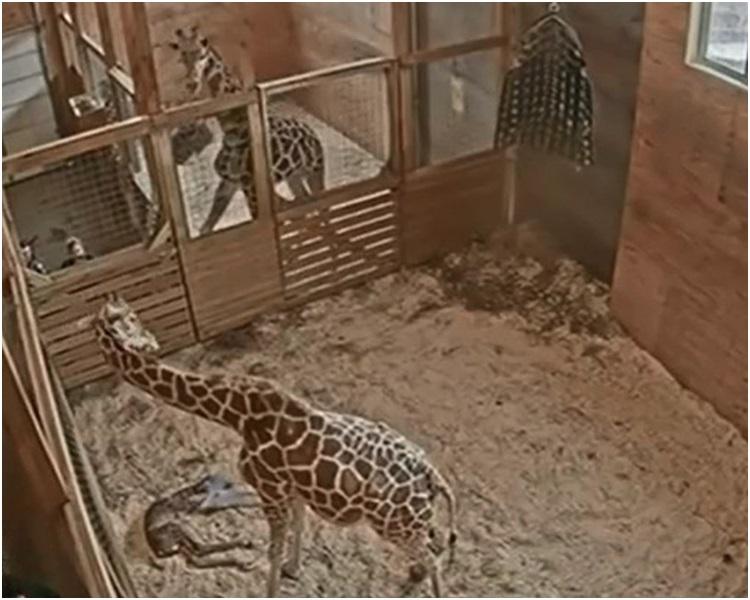 长颈鹿宝宝在45分钟后站起来随后接受餵哺。网图