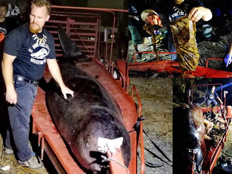 工作人員驚呼這條鯨魚肚中的塑膠量,是目前見過最多的,真的讓人氣憤,政府應嚴格懲戒,那些將海洋視為垃圾桶的人。(網圖)