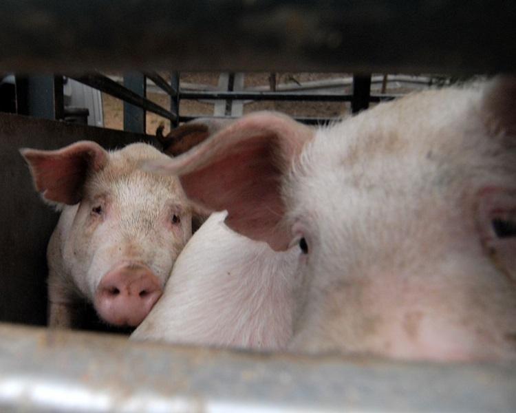 重慶出現非洲豬瘟。示意圖,非涉事豬場