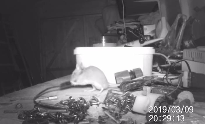 老鼠偷偷走进来,并爬到枱上整理零乱的零件。网图
