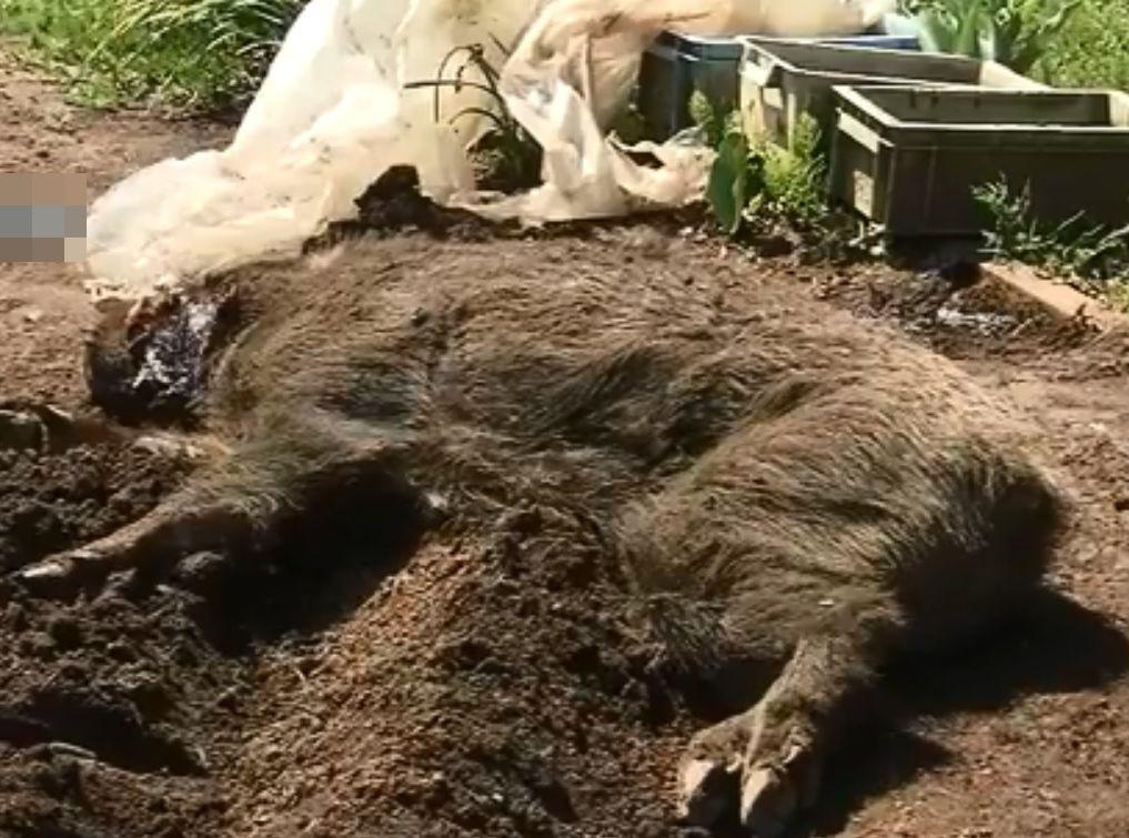涉事的山豬最終被海藤用鋤頭擊斃。網圖