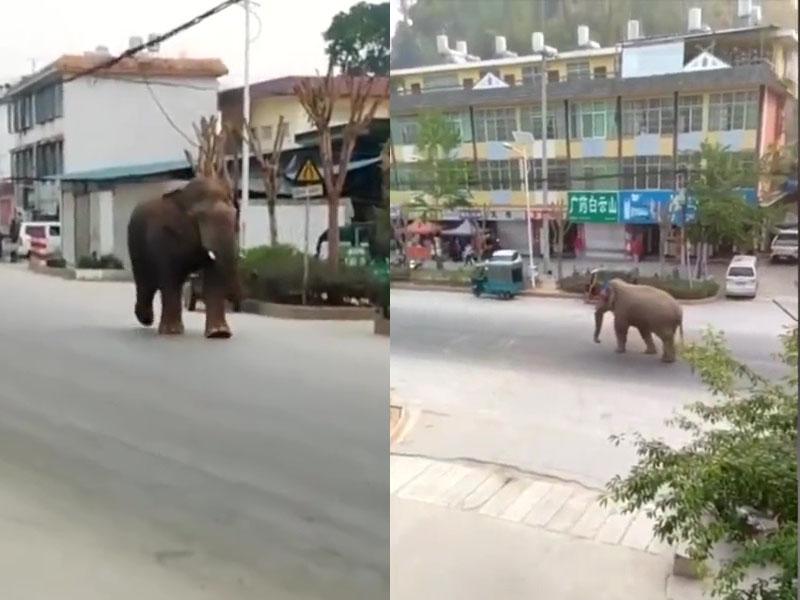 雲南一隻單身野生公象因發情走進民居,致村內車毀房塌。(網圖)