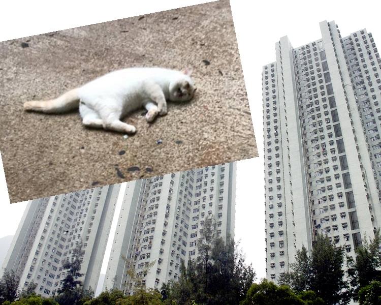 貓咪(小圖)被發現在富寶花園墮斃。fb「天下貓貓一樣貓群組」圖片