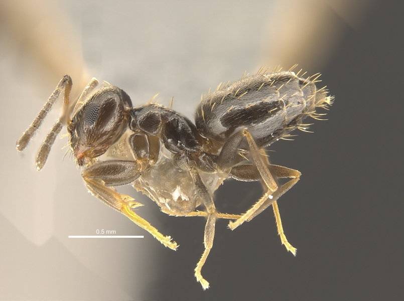 巴塔哥尼亚短蚁。