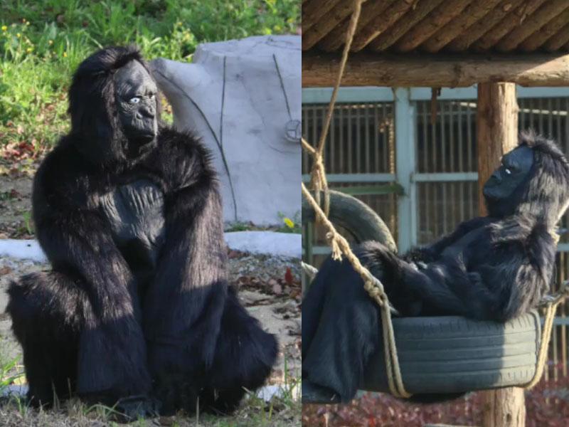 由真人穿道具服裝假扮猩猩被遊客投訴。(網圖)