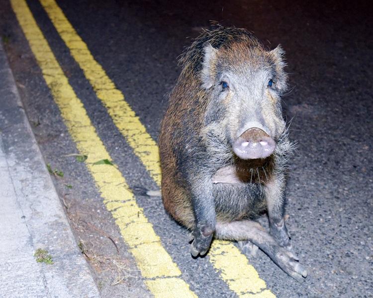 市民一旦遇见野猪,应保持镇定及尽量与牠们保持距离。