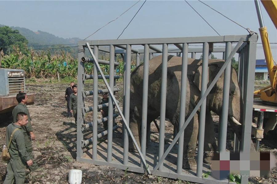 目前,野象被安全护送至西双版纳州亚洲象种源收容救护中心,生命体徵正常。 网上图片