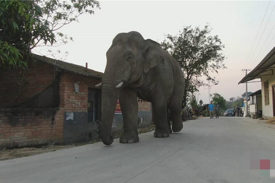 野象闯进民村拦路抢食、损坏车辆,造成财产损失。 网上图片