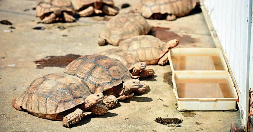 當局打擊走私瀕危動物,檢獲不少活龜。