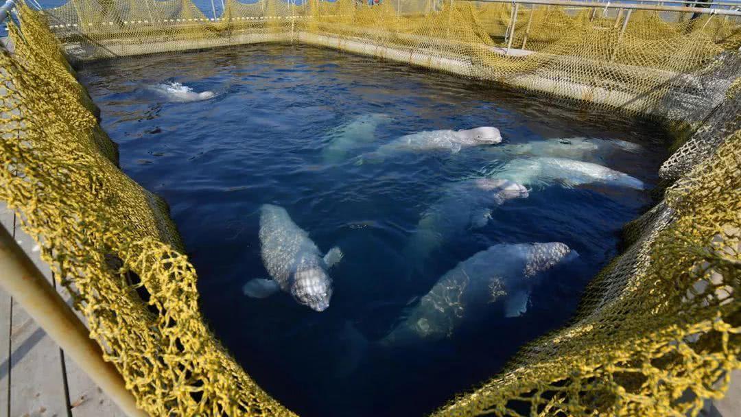 俄羅斯百頭鯨魚被困「監獄」等待出口中國。網上圖片