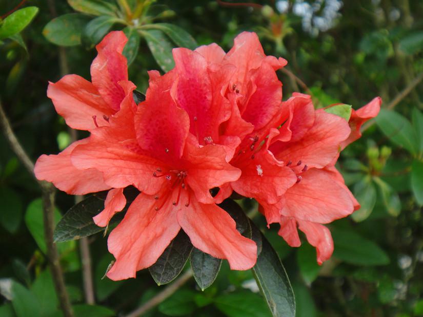 红杜鹃。网上图片