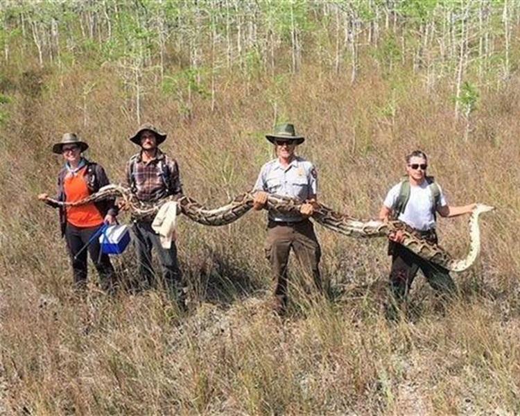 保护区成功捕捉一条5.2米长的母蟒。网图