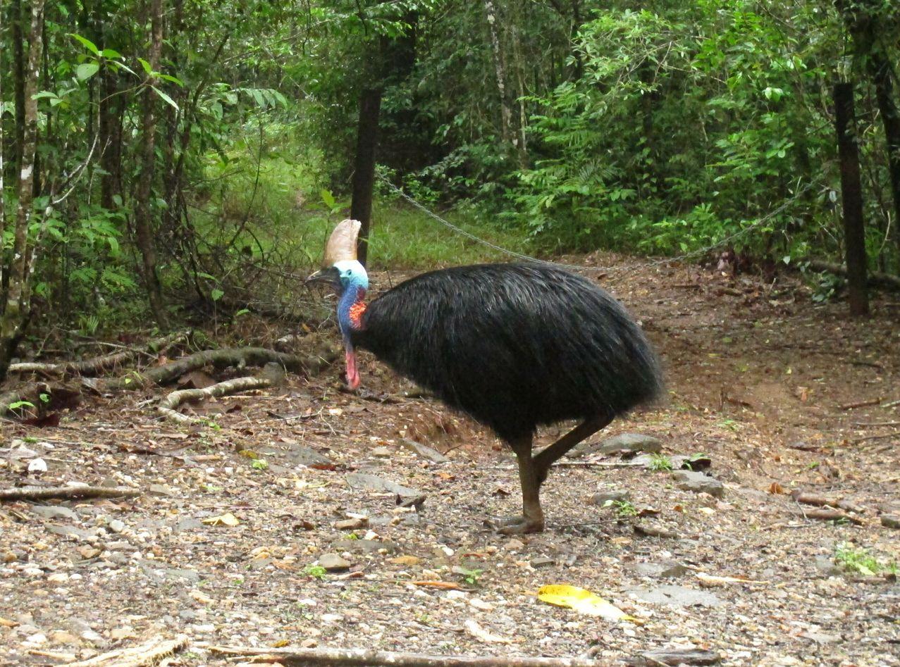 鹤鸵又名为食火鸡。