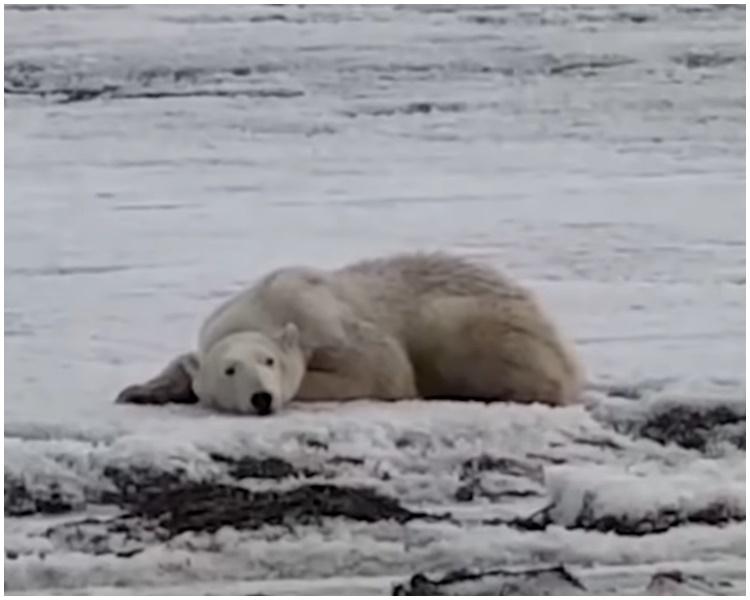 北极熊误闯俄罗斯。影片截图