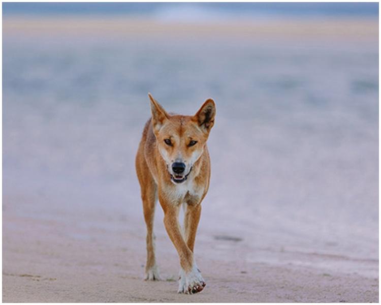 澳洲野狗估计已存在4000年。网图