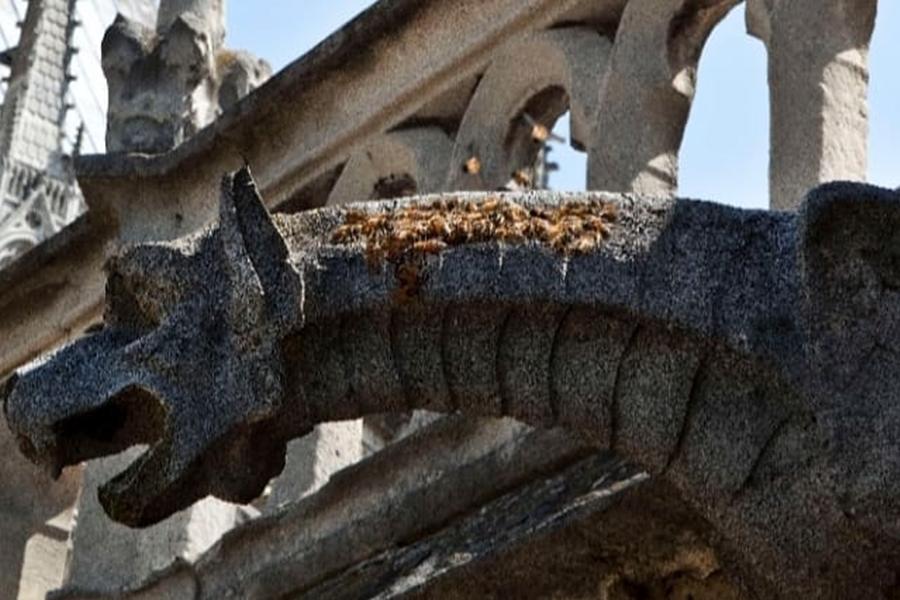 飼養在聖母院旁屋頂的20萬隻蜜蜂絲毫無損。beeopic IG圖片