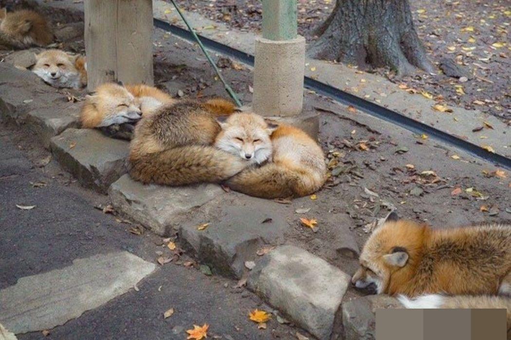 狐狸尾巴疊在一起儼如1隻「肌肉狐狸」。網圖fox_info_net