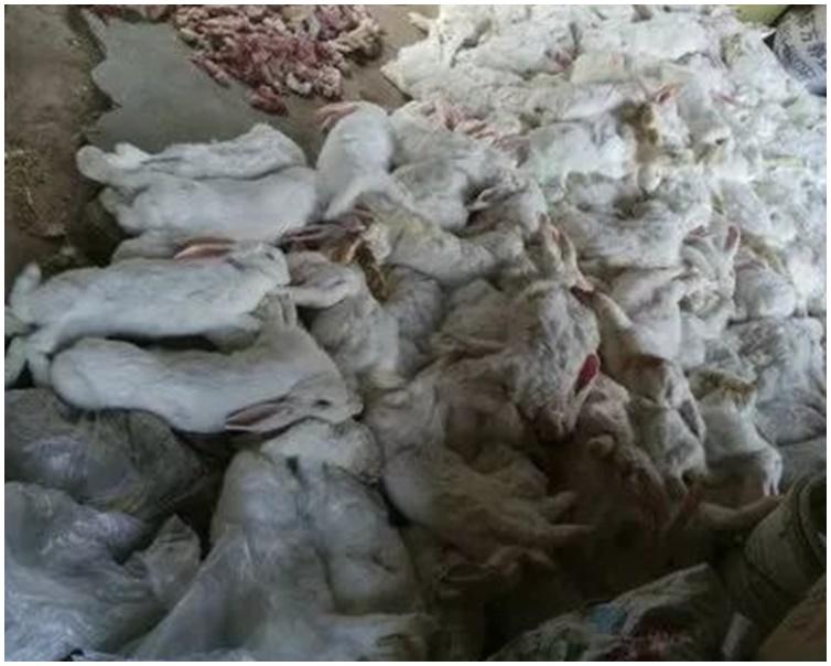 养殖场内饲养的兔子陆续出现母兔流产及死亡。网图