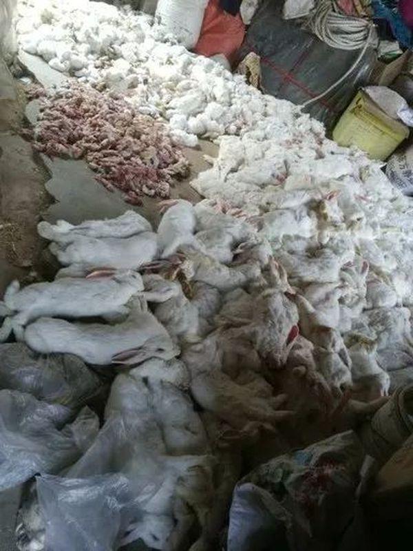 经统计共死去母兔1573只、小兔10070只、流产小兔15000只。网图