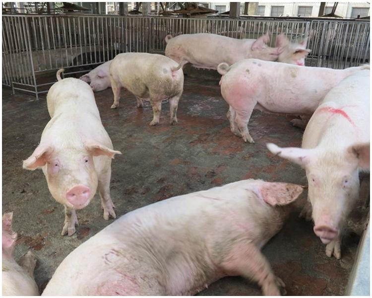 疫情爆發至今共撲殺102萬頭豬。網圖