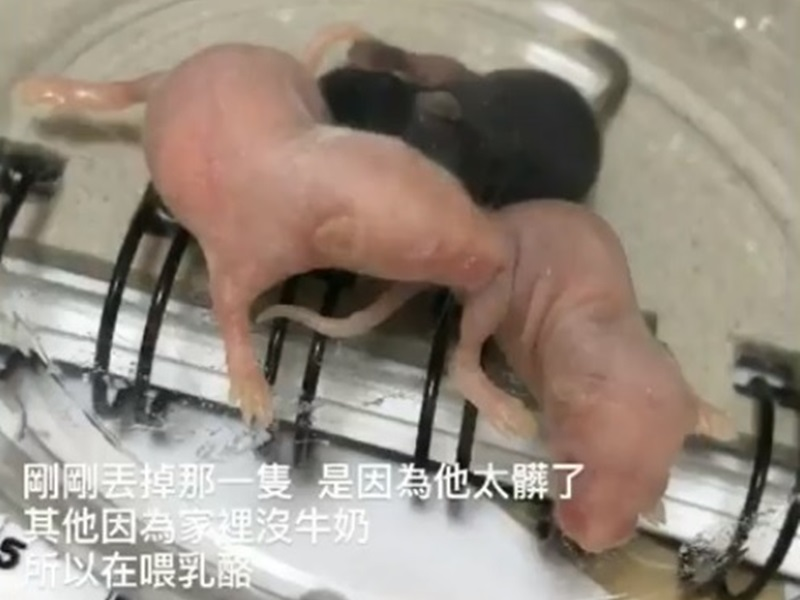 受虐倉鼠bb尚未開眼。fb圖片