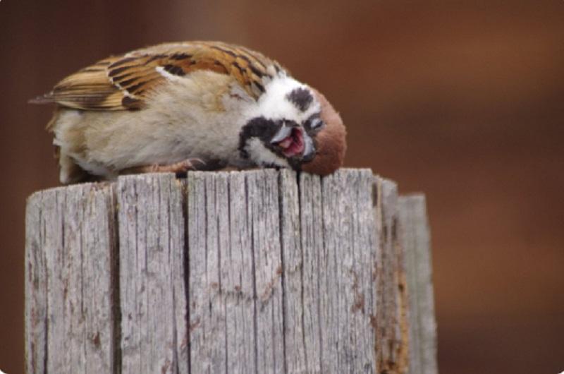 麻雀的表情相當厭世。網上圖片